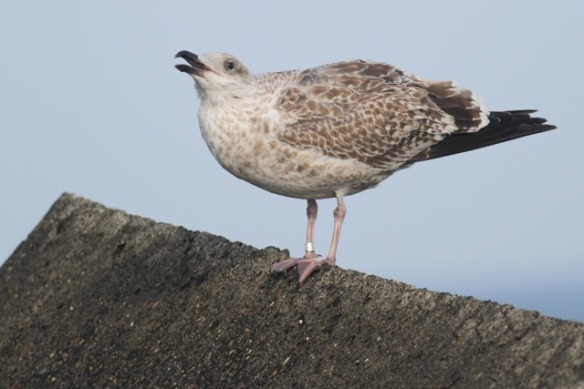 Herring gull with ring, IJmuiden, 20 October 2013