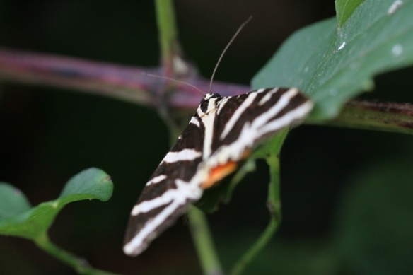 Jersey tiger moth, Italy, 17 September 2013