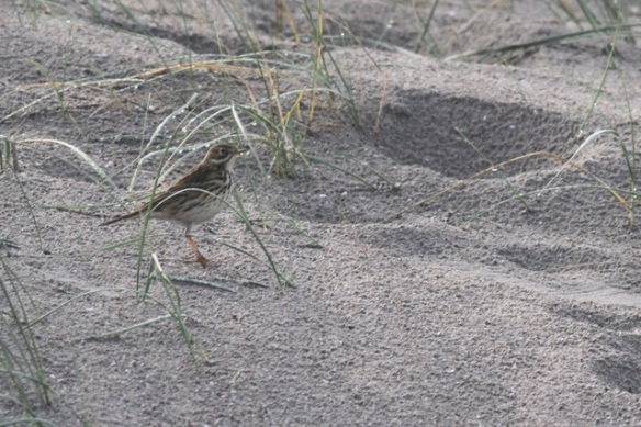 Meadow pipit, on sand dune, IJmuiden, 20 October 2013