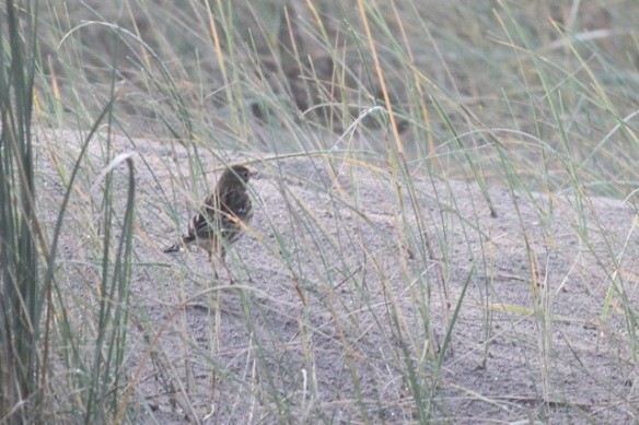 Meadow pipit, sand dune, IJmuiden, 20 October 2013
