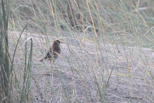Meadow pipit, sand dune, IJmuiden, 20 October 2013