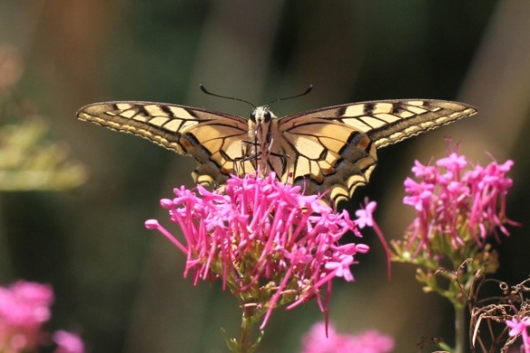 Old world swallowtail spreading wings, Italy, 18 September 2013