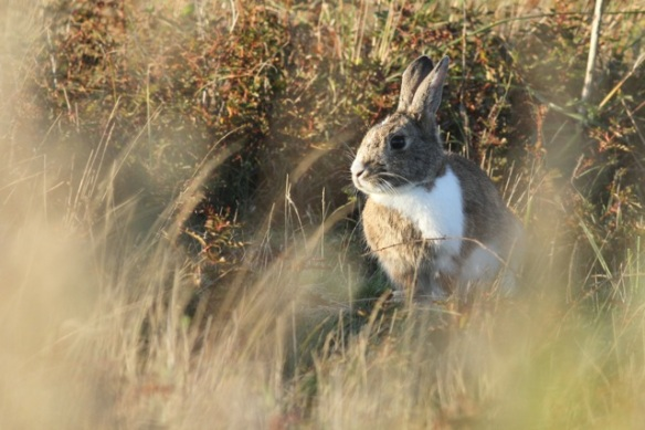 Rabbit, Texel, 24 October 2013