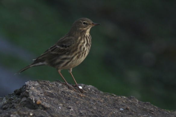 Rock pipit, IJmuiden, 20 October 2013