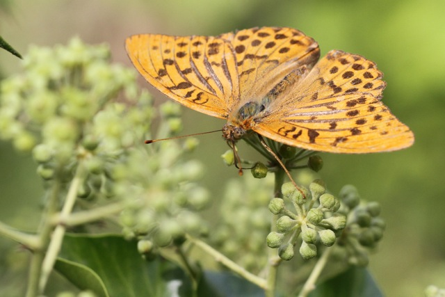 Silver-washed fritillary, Bussare, Italy, 17 September 2013