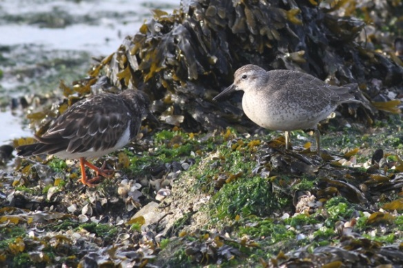 Turnstone and red knot, IJmuiden, 20 October 2013