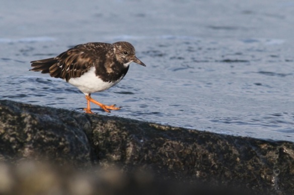 Turnstone walking, IJmuiden, 20 October 2013