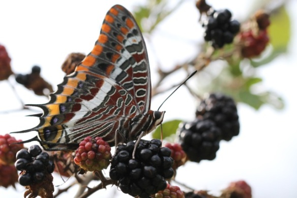 Two-tailed pasha, Italy, 17 September 2013