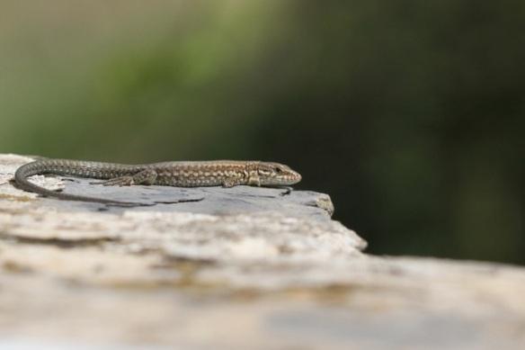 Wall lizard, Ciantri, Italy, 17 September 2013