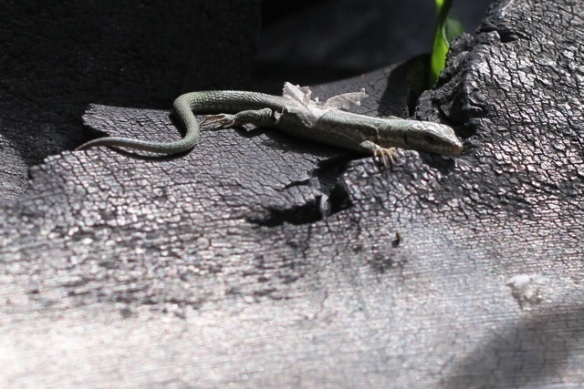 Wall lizard on tyre, Italy, 17 September 2013