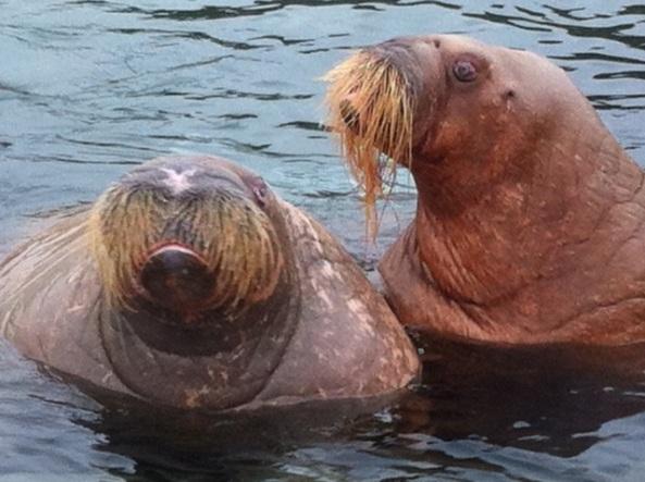 Walruses, Harderwijk, 12 October 2013