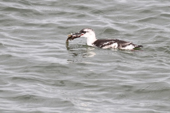Young black guillemot still with prey, IJmuiden, 20 October 2013
