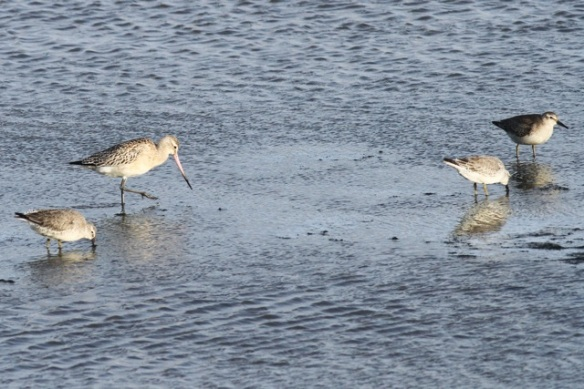 Bar-tailed godwit and red knots, Texel, 26 October 2013