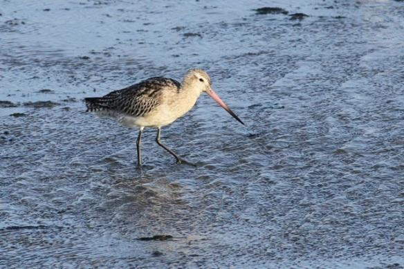 Bar-tailed godwit, Texel, 26 October 2013