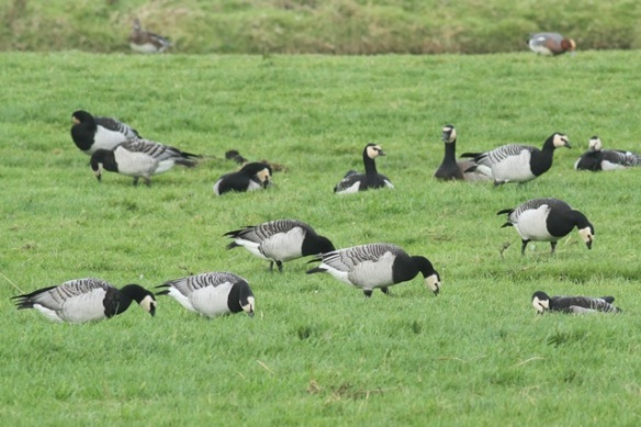Barnacle geese, with wigeons in the background, Zeevang
