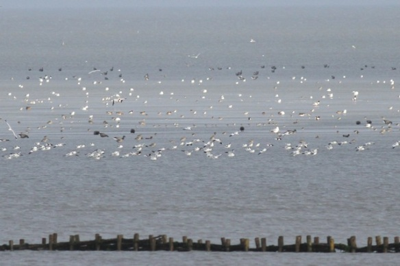 Brent geese and shelducks, Schorren, Texel, 26 October 2013