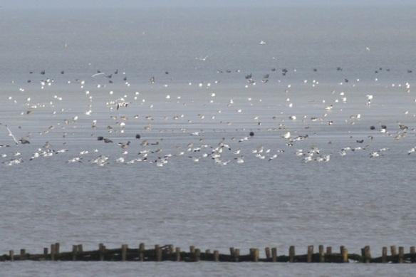 Brent geese and shelducks, Schorren, Texel, 26 October 2013