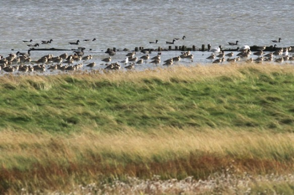 Brent geese swimming, Schorren, Texel, 26 October 2013