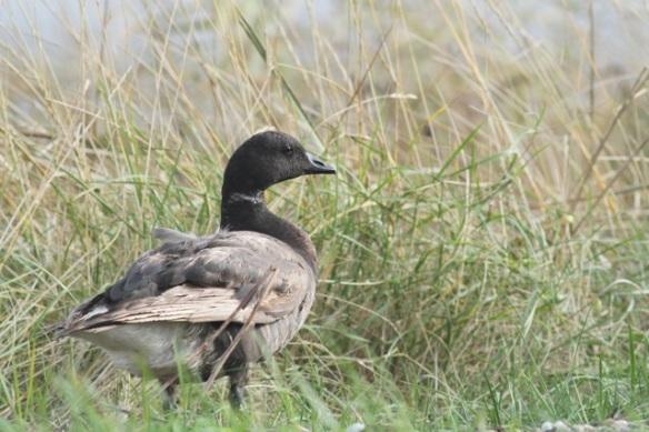 Brent goose, Schorren, Texel, 26 October 2013