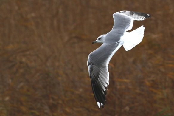 Common gull, Zeevang, 16 November 2013