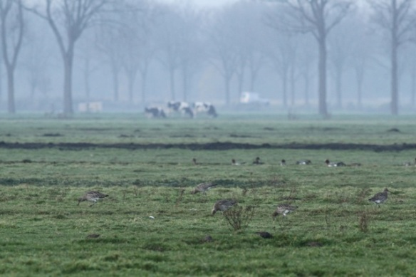 Curlews and cows, Zeevang, 16 November 2013