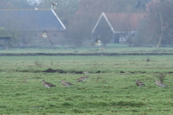 Curlews, Zeevang, 16 November 2013