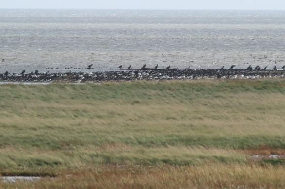 Great cormorants, Schorren, Texel, 26 October 2013