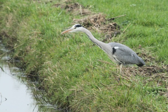 Grey heron, Zeevang, 16 November 2013