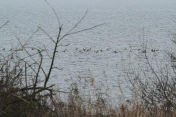 Grey lag geese, Zeevang, 16 November 2013