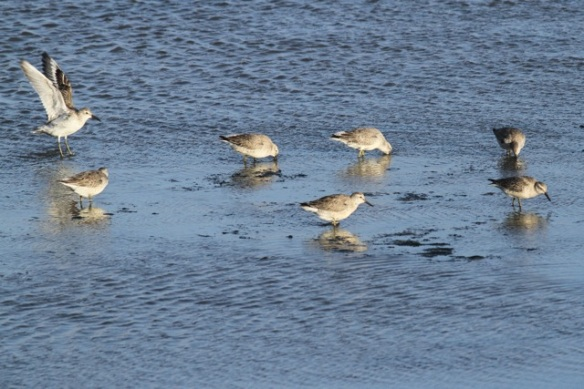 Grey plover and red knots, Texel, 26 October 2013