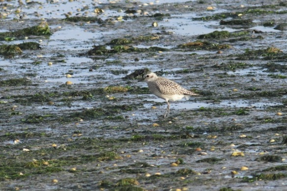Grey plover, Texel, 26 October 2013
