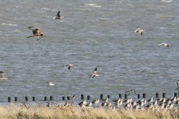 Hen harrier, curlews, redshanks, Texel, 26 October 2013