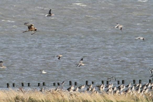 Hen harrier, curlews, redshanks, Texel, 26 October 2013