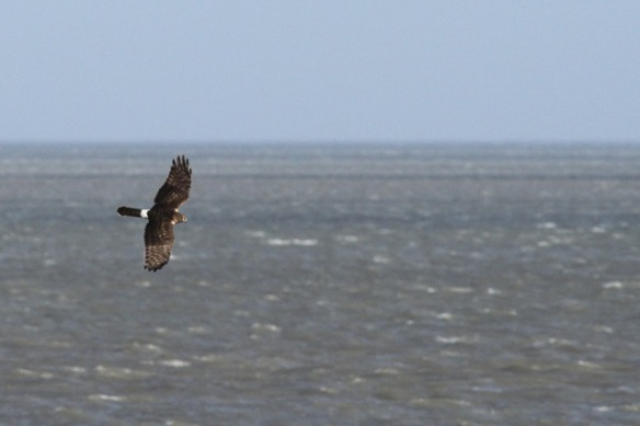 Hen harrier, Texel, 26 October 2013