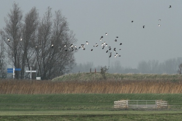 Northern lapwings flying, Zeevang