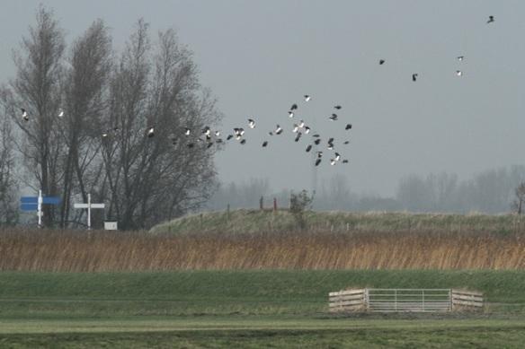 Northern lapwings flying, Zeevang
