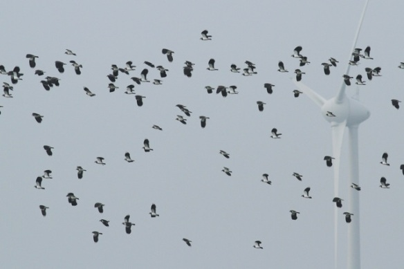 Northern lapwings, Zeevang