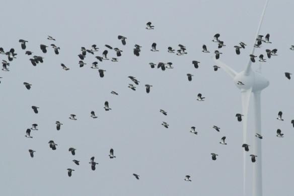 Northern lapwings, Zeevang