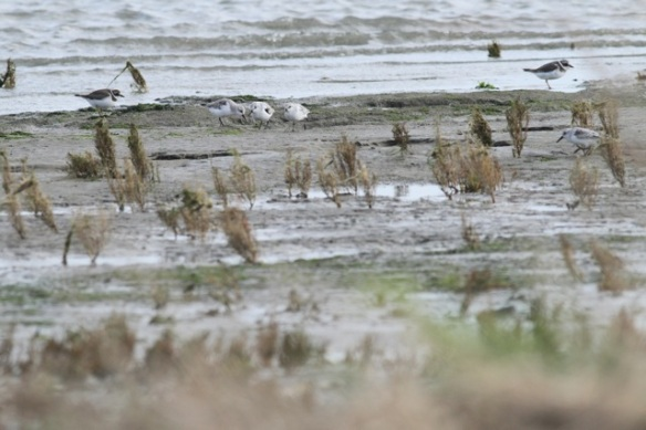 Ringed plovers and sanderlings, Texel, 26 October 2013