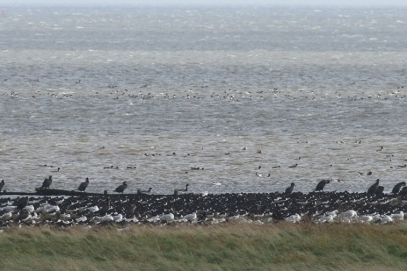 Shelducks, Schorren, Texel, 26 October 2013