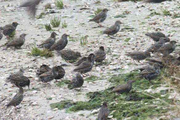 Starlings, Texel, 26 October 2013