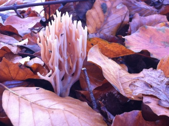 Strict-branch coral fungi, Elswout