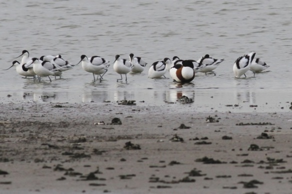 Avocets and shelduck, 18 January 2014
