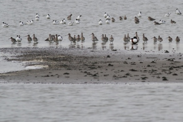 Avocets, black-tailed godwits and a shelduck, 18 January 2014