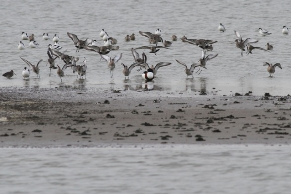 Avocets, black-tailed godwits and shelduck, 18 January 2014