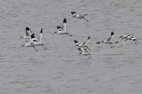 Avocets flying, 18 January 2014