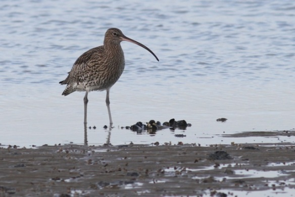 Curlew, Brouwersdam, 18 January 2014
