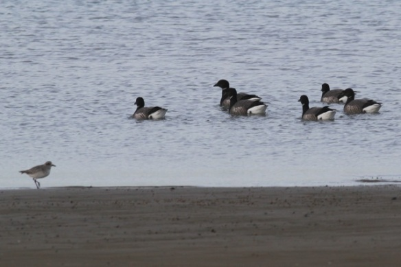 Grey plover and brent geese, Brouwersdam, 18 January 2014