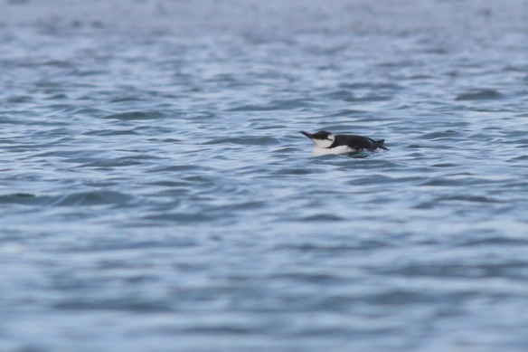 Guillemot, Brouwersdam, 18 January 2014