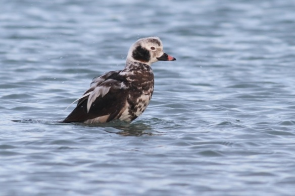Long-tailed duck male, Brouwersdam, 18 January 2014